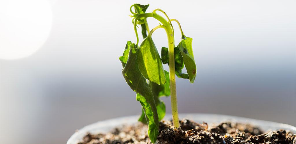 dryplant