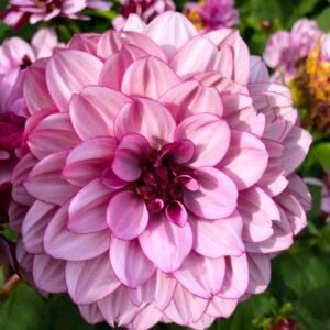 dahlia rosa