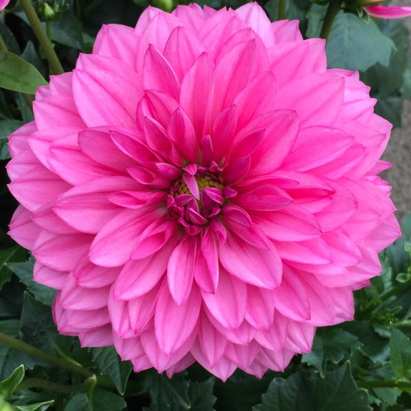 dahlia starkt rosa