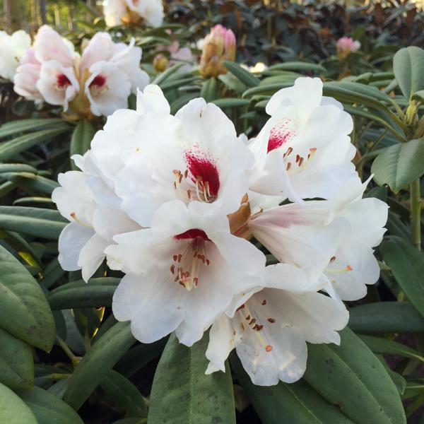 Rhododendron vildart